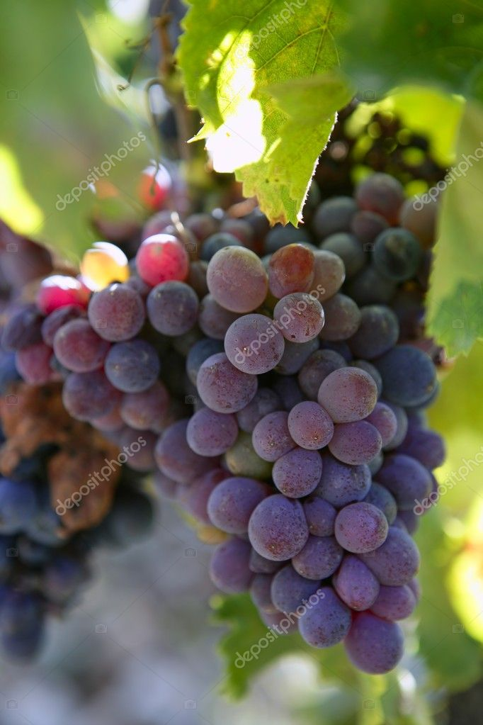 Black red grape for wine production in Spain grapevine fields — Stock Photo #5502097
