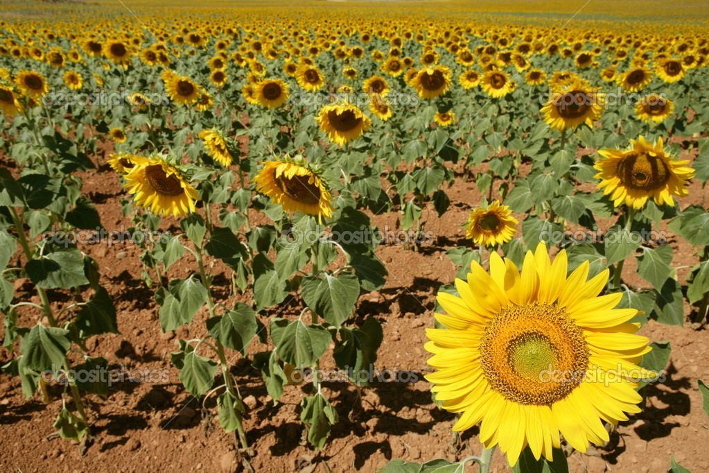 Colorful sunflower plantation with vibrant yellow flowers — Stock Photo #5502253