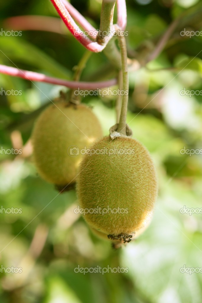 Kiwi fruits in the tree macro detail agriculture — Stock Photo #5502276