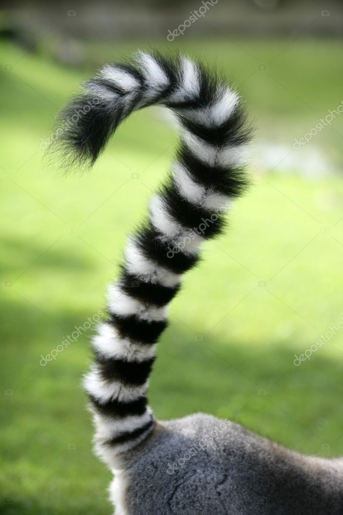 Ring tailed lemur from Madagascar. Question mark shape tail over green grass background — Stock Photo #5504039