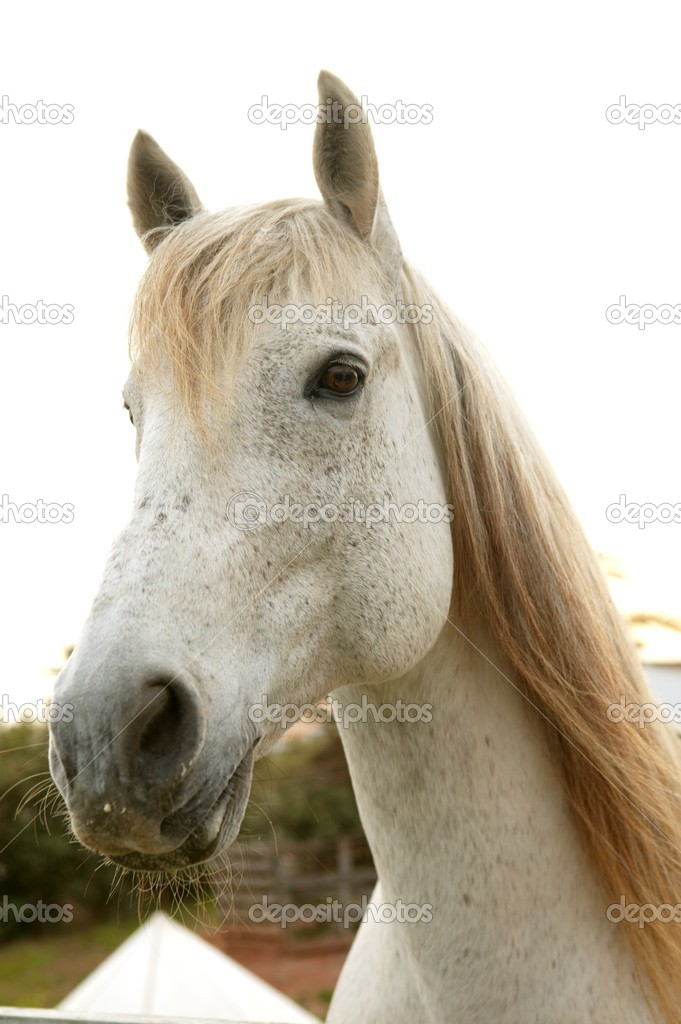 Beautiful white horse soft portrait looking to camera — Stock Photo #5506408