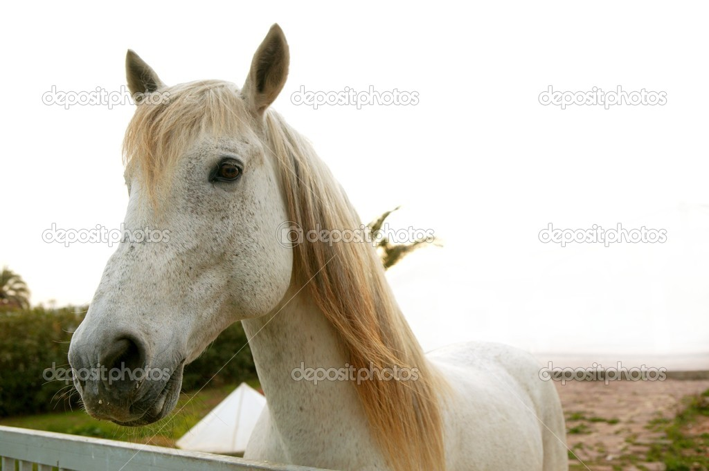 Beautiful white horse soft portrait looking to camera  Stock Photo #5506409