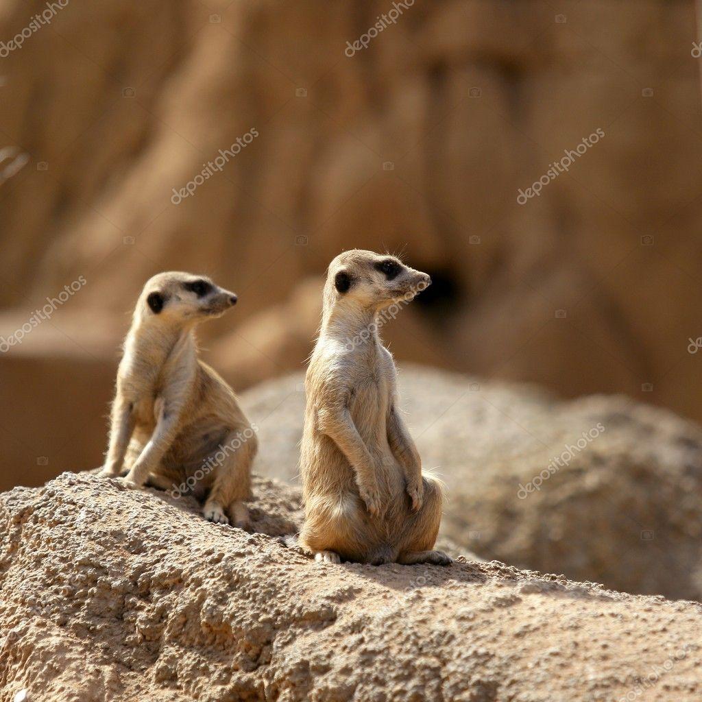 Avviso di in piedi due suricata foto stock 5506831 for Piani domestici di 2000 piedi quadrati