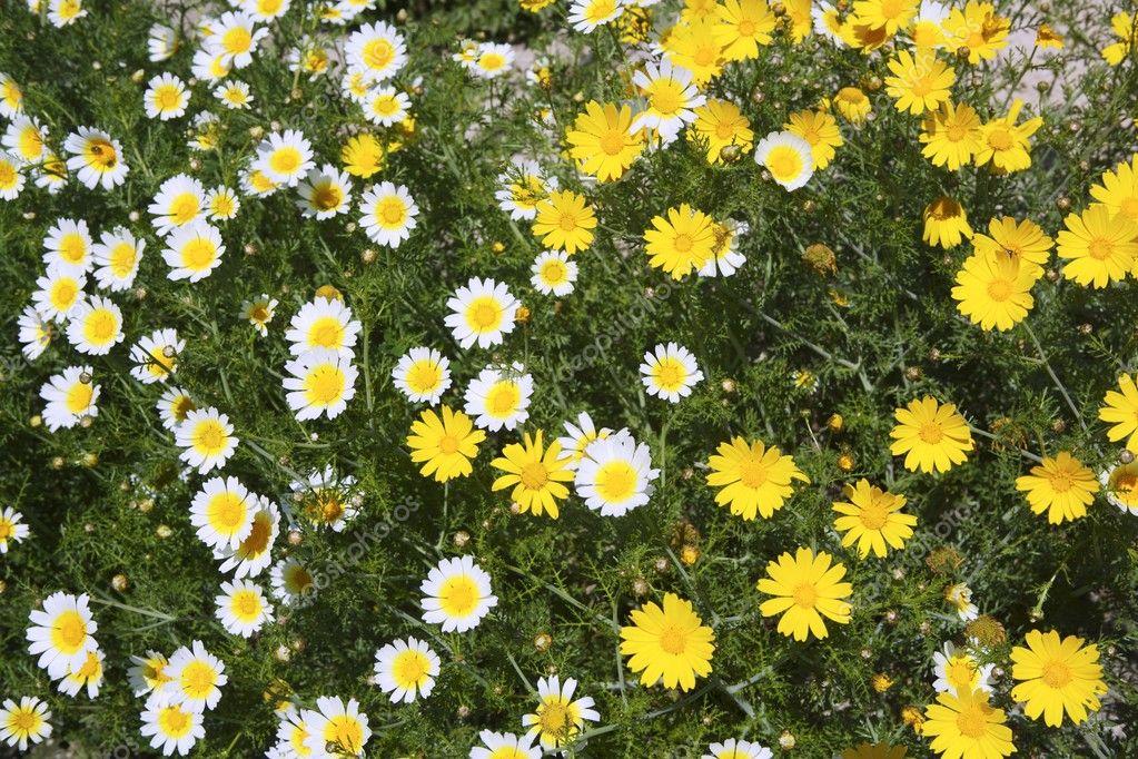 jardim rosas amarelas : jardim rosas amarelas:Margarida amarela e branca flores no jardim — Fotografias de Stock