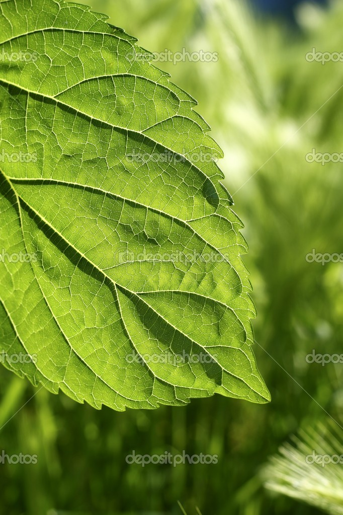 Transparency in mulberry leaf silworms food green spring nature macro — Stock Photo #5507425