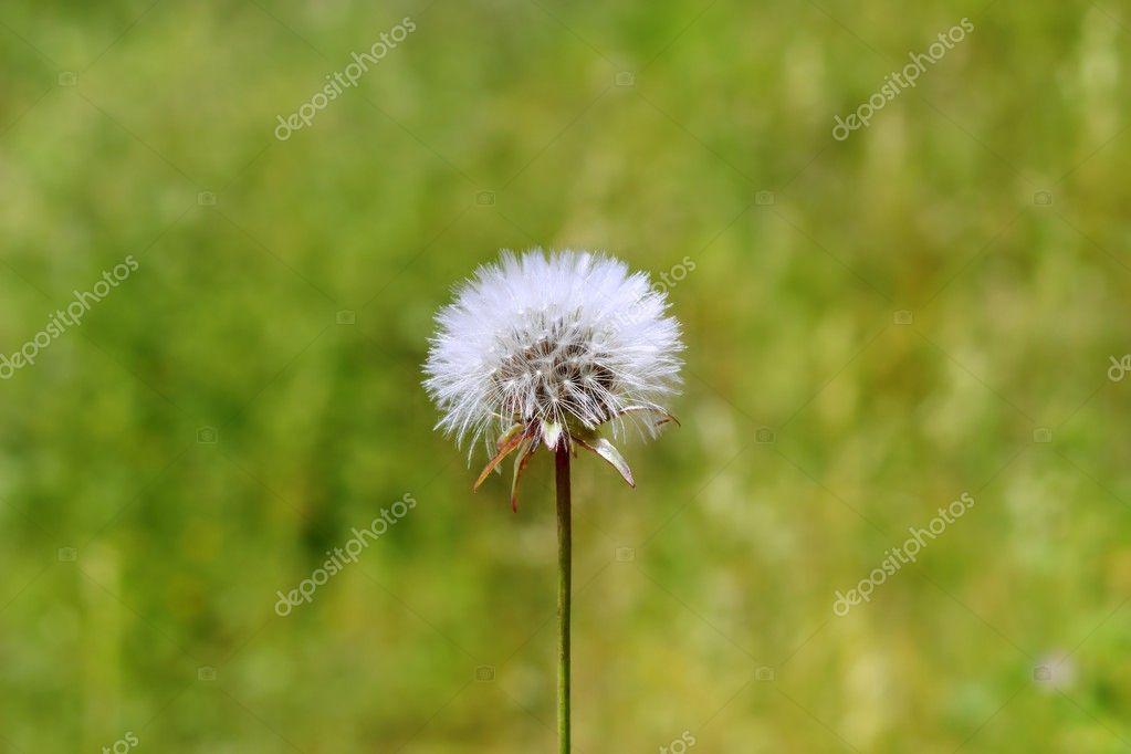 White Dandelion Flower Blowing in The Wind Dandelion White Flower to Blow