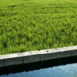 Rice field green meadow in Spain ditch — Stock Photo