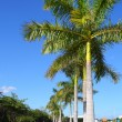 Royal palm trees row in tropical garden road — ストック写真