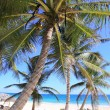Caribbean coconut palm trees  tuquoise sea — Stock Photo