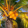 Coconuts in palm tree detail tropical symbol — Stock Photo