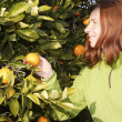 Orange tree field female farmer harvest picking fruits — Stock Photo