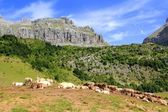 Bisaurin peak Pyrenees cow cattle on valley — Stock Photo