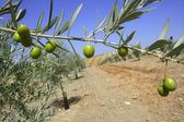 Beautiful green olive field macro over blue sky — Stock Photo