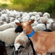 Goats and sheep herd flock outdoor track nature - Stock Photo