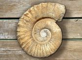 Fossil spiral snail stone real ancient petrified shell — Stock Photo