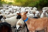 Goats and sheep herd flock outdoor track nature — Stock Photo
