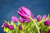 Tulips pink flowers on blue studio background — Stok fotoğraf