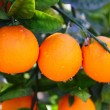 Branch orange tree fruits green leaves in Spain - Stock Photo