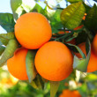 Branch orange tree fruits green leaves in Spain — Stock Photo