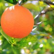 Orange tangerine tree fruits green leaves - Stock Photo