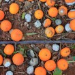 Rotten oranges fallen in floor market price is low - Stock Photo