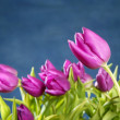 Tulips pink flowers on blue studio background — Stock fotografie