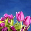 Tulips pink flowers on blue studio background — Stock Photo #5569901