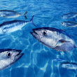 Bluefin tuna Thunnus thynnus fish school underwater - Stock Photo
