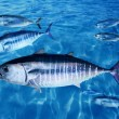 Bluefin tuna Thunnus thynnus fish school underwater — Stock Photo #5569931