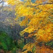 Autumn fall colorful golden beech forest trees — Stock Photo