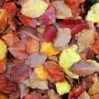 Autumn beech forest leaves yellow red golden floor — Stock Photo