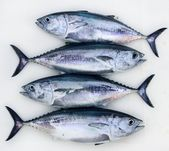 Bluefin four tuna fish Thunnus thynnus catch row — Stock Photo