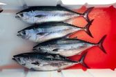 Rosso sanguinosa cattura quattro tonno thunnus thynnus — Foto Stock