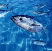Bluefin tuna Thunnus thynnus fish school underwater — Stock Photo