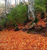 Jesień stulecia bukiem w liście jesienią złoty — Zdjęcie stockowe