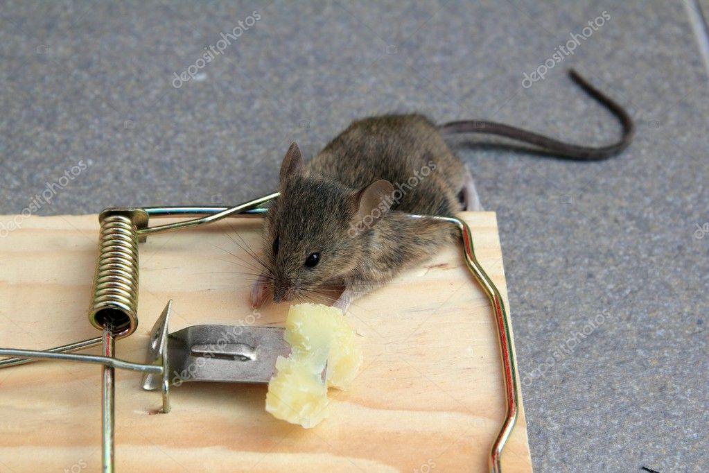 Trampa para ratones con verdadero rat n atrapado con queso fotos de stock lunamarina 5569162 - Trampa de ratones ...