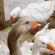 Goose bird white and brown in farmyard - Stock Photo