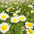 Daisy spring flowers field yellow and white meadow — Stock Photo