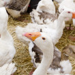 Goose white bird in farmyard head neck - Stock Photo
