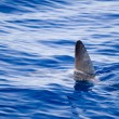 Sunfish fin coming out water as a shark metaphor - Stock Photo