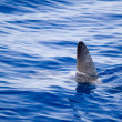Stock Photo: Sunfish fin coming out water as shark metaphor