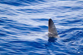 Sunfish fin coming out water as a shark metaphor — Stock Photo