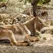 Royalty-Free Stock Photo: Donkey mule sitting in Mediterranean olive tree