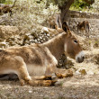 Donkey mule sitting in Mediterranean olive tree -  