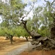 centennial olive trees from mediterranean mallorca — Stock Photo