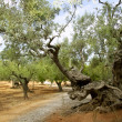 Centennial olive trees from Mediterranean Mallorca - Stock Photo