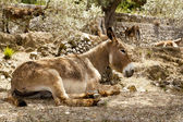 Donkey mule sitting in Mediterranean olive tree — Stock Photo