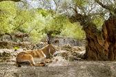 Donkey mule sitting in Mediterranean olive tree — Stock Photo