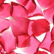 Dropped rose petals — Stock Photo