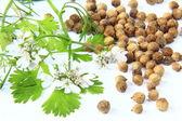 Flowering coriander — Stock Photo